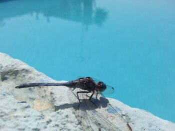insetos na piscina